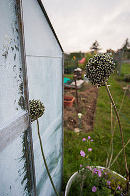 Alliums in a pot next to a greenhouse - p1047m1055604 by Sally Mundy