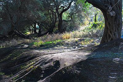 Olivenernte - p1486m2076079 von LUXart