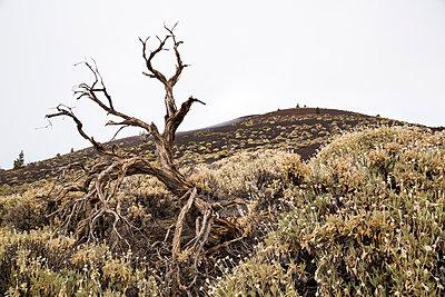 Dead tree on a volcano - p1682m2260709 by Régine Heintz