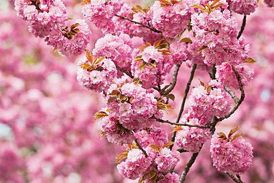 Japanese cherry - p300m906046f by Gaby Wojciech