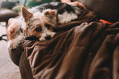 Portrait of Yorkshire Terrier relaxing with boy on sofa at home - p1166m1416315 by Cavan Images