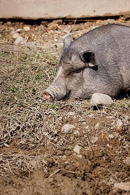 Wildschwein - p248m916535 von BY