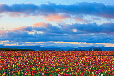 sunrise over a tulip field at wooden shoe tulip farm; woodburn oregon united states of america - p44213692f by Craig Tuttle