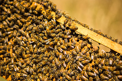 Close-up of honey bees on beehive in frame - p1166m1508424 by Cavan Images