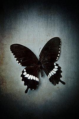 Schmetterling - p451m1582557 von Anja Weber-Decker