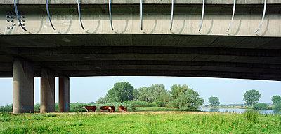 Kühe unter der Autobahnbrücke - p1132m925593 von Mischa Keijser