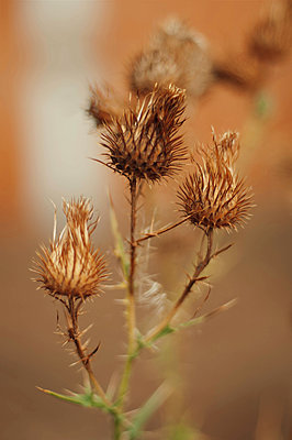 Close-up of dry thistle buds on plant - p1166m1546945 by Cavan Images