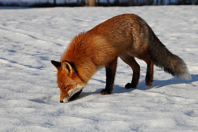 Fox sniffing - p235m900460 by KuS