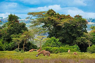 Giraffe herd - p533m885414 by Böhm Monika