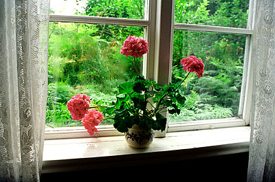 Pelargonium In Pot On Window Sill - p8474052 by Bengt Af Geijerstam
