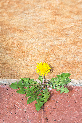A weed plant with a yellow flower against a concrete wall. - p1436m2229252 von Joseph S. Giacalone