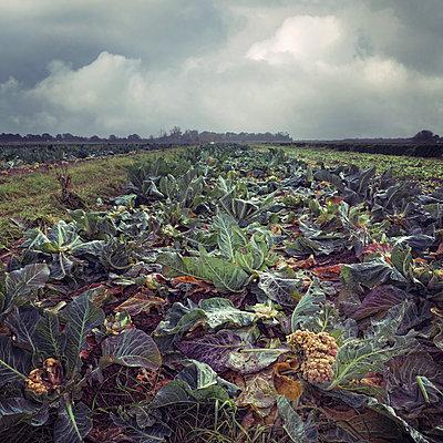 Cauliflower Field - p1633m2211074 by Bernd Webler