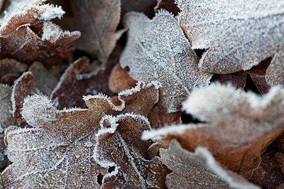 Close-up of frosty leafs - p4267707f by Ulf Börjesson