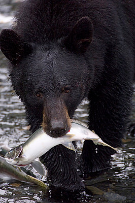 Black Bear with Pink Salmon - p884m864025 by Michael Quinton