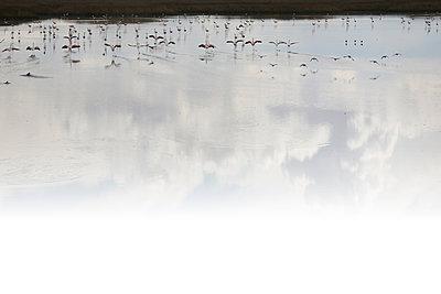 Flamingotanz auf dem Lago Poopó - p1038m1575341 von BlueHouseProject