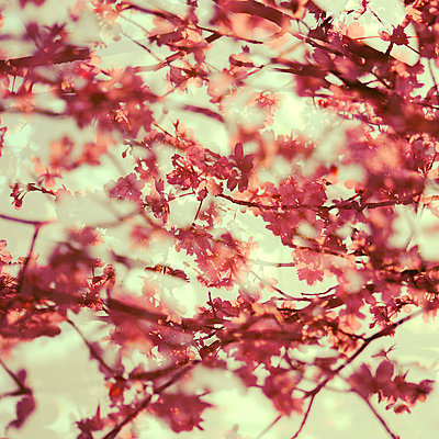 Blossoms against the light, multiple exposure - p1640m2245919 by Holly & John