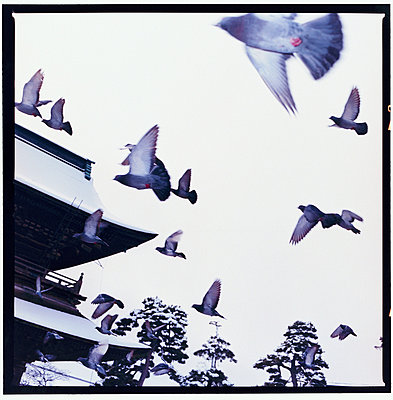 pigeons flying in front of a temple - p3012489f by fStop