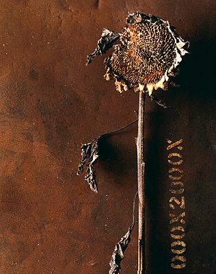 getrocknete Sonnenblume - p9791874 von Zimmermann photography