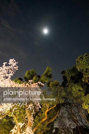 Cherry blossoms at night - p1657m2262429 by Kornelia Rumberg