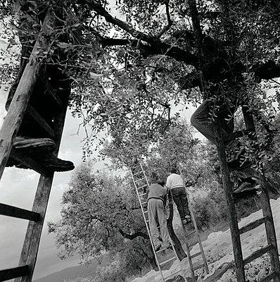 Olivenernte; Italien; Latium - p1016m815727 von Jochen Knobloch