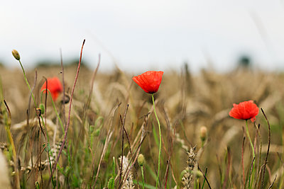 Poppies - p312m2139645 by Pernille Tofte