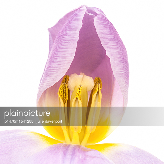 Close up of tulip  - p1470m1541288 by julie davenport