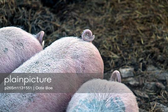 Drei Schweine - p265m1131551 von Oote Boe
