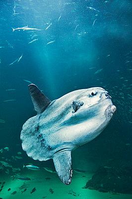 Sunfish - p312m710624f by Alexander Crispin