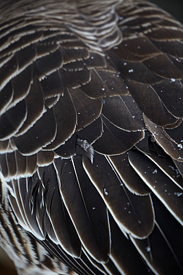 Goose quills - p4150532 by Tanja Luther