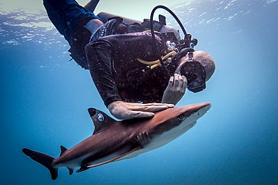Diver releasing a tagged juvenile blacktip reef shark after it has been tagged , Lombok, Indonesia - p429m1062886 by Steve Woods Photography