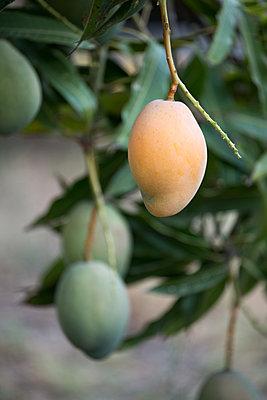 Mangos on tree - p1580m2210127 by Andrea Christofi