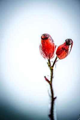 Rose hips after sleety rain - p936m954299 by Mike Hofstetter