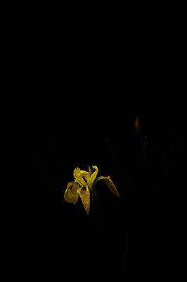 Iris - p1103m1072626 by Virginie Pontisso