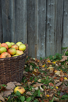 Apple harvest - p454m764473 by Lubitz + Dorner
