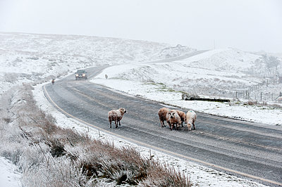 Sheep in a wintry landscape on the Mynydd Epynt moorland, Powys, Wales, United Kingdom, Europe - p871m1136153 by Graham Lawrence