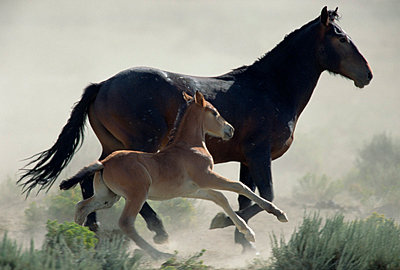 Mustang mare and her foal flee danger in cloud of dust in the summer season - p884m863023 by Yva Momatiuk & John Eastcott