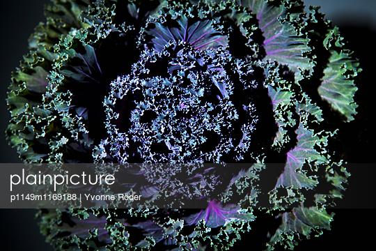 Ornamental cabbage - p1149m1169188 by Yvonne Röder