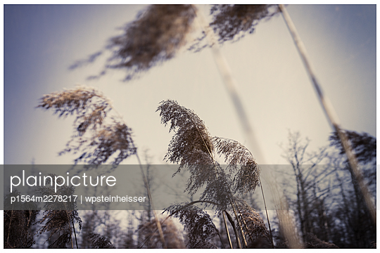 Grasses blowing in the wind - p1564m2278217 by wpsteinheisser