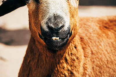 Close-up of goat - p1085m1441422 by David Carreno Hansen