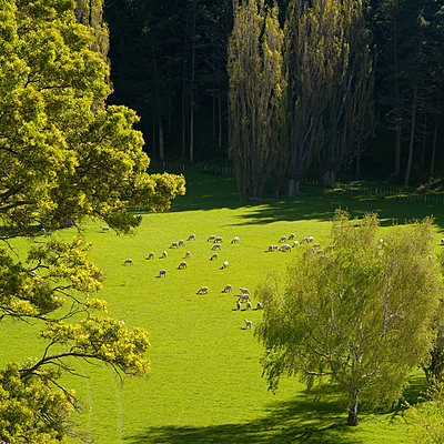 sheep grazing in meadow surrounded by trees - p1201m1591677 by Paul Abbitt