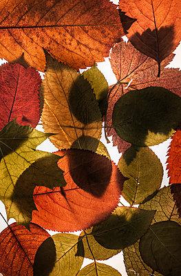 Autumn leaves - p971m2087107 by Reilika Landen