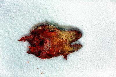 dead calf - p1553m2125690 by matthieu grospiron