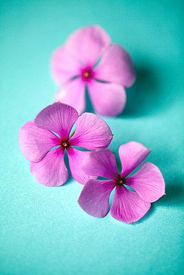 Rosa Blumen - p1248m1503223 von miguel sobreira