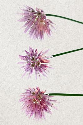 Blossoms of chive - p450m1138776 by Hanka Steidle