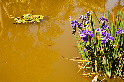 Yellow pond with Iris - p1291m1465801 by Marcus Bastel
