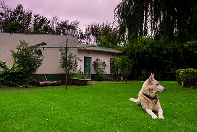 A beautiful German Shepherd - p1655m2258627 by lindsay basson