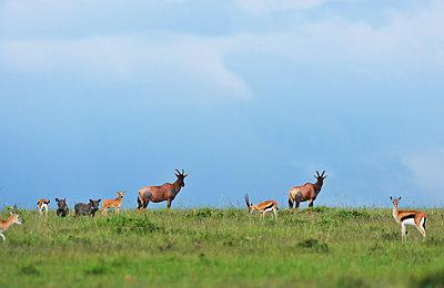 Antilopes and gazelles - p533m1134203 by Böhm Monika