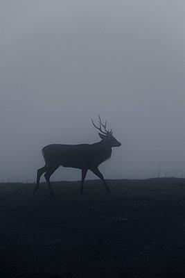 Deer in fog - p248m739480 by BY