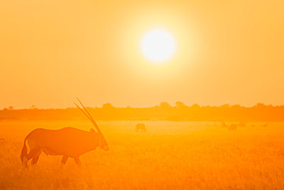 Botswana, Kalahari, Central Kalahari Game Reserve, Greater Kudu at sunrise, Tragelaphus strepsiceros - p300m2029012 by Fotofeeling