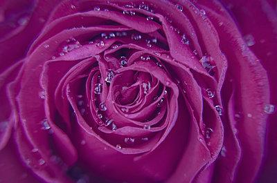 Rose - p1544m2122130 by Mirka van Renswoude